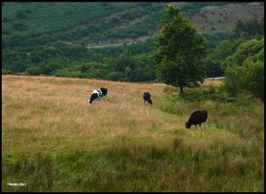 Cows in the Distance