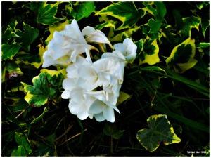 White Hope