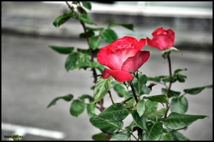 Ghost of a Rose II