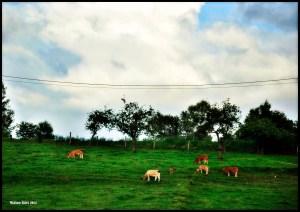 Herd III