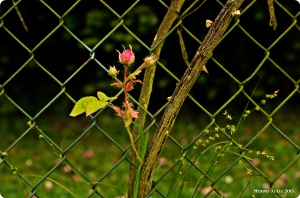 Rosebud and a Fence